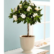 Fragrant Gardenia Topiary
