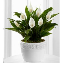 Calming Grace Peace Lily Plant