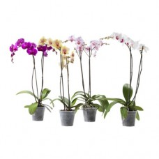 Potted Orchids & Exotic