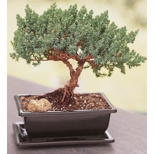 Creeping Juniper Bonsai