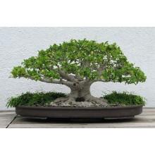 Ficus Nana Specie