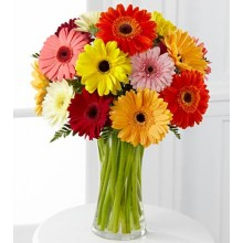 Colorful  Gerbera Daisy- 15 Stems