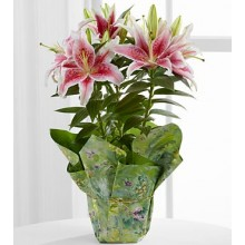 Sweet Stargazer Lily Plant