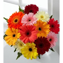 Colorful World Gerbera Daisy