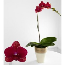 Heart's Wishes Phalaenopsis Orchid