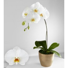 Graceful Greetings Phalaenopsis Orchid